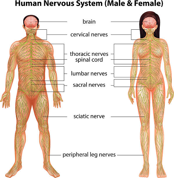 Human nervous system The male and female nervous systems on a white background sciatic nerve stock illustrations