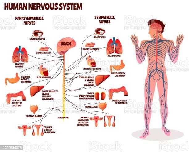 Human nervous system vector illustration vector id1022636028?b=1&k=6&m=1022636028&s=612x612&h=4n nbd mdcddjtbgvztsxs9llcitd ynehp lflpoam=