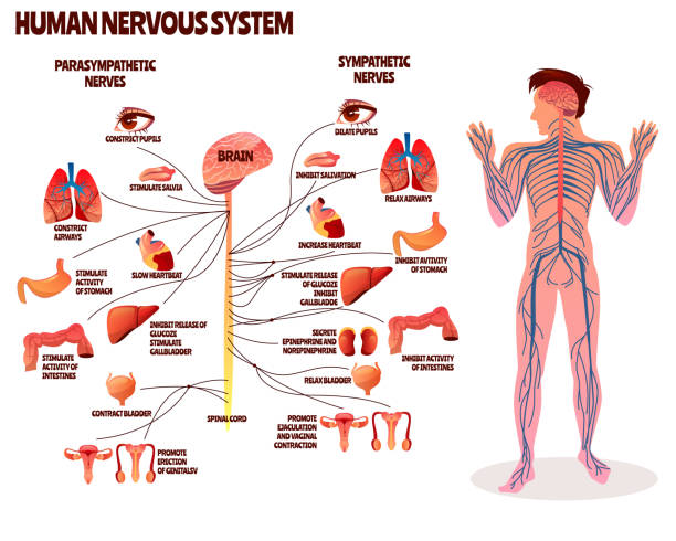 Human nervous system vector illustration Human nervous system vector illustration. Cartoon design of man body with brain parasympathetic and sympathetic nerves chain for neurology medical infographic human nervous system stock illustrations