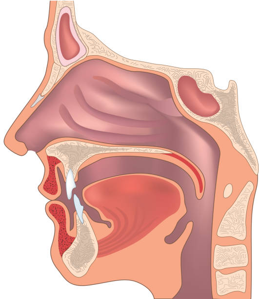 Human nose and throat structure. Anatomy of the nose and throat. human jaw bone stock illustrations