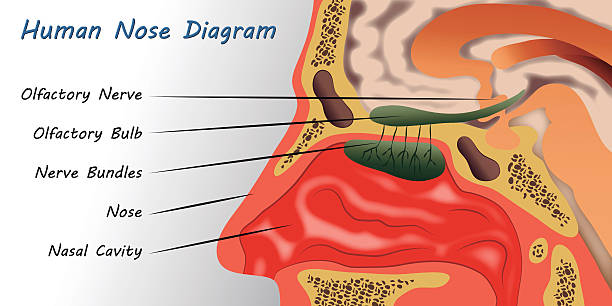 Royalty Free Sinuses Clip Art Vector Images Illustrations Istock