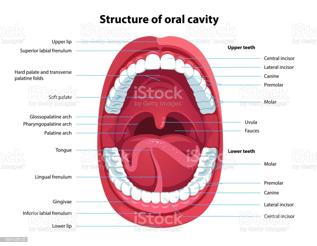 Human Open Mouth And Oral Cavity Anatomy Structure Model With