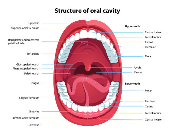 Human open mouth and oral cavity anatomy structure model with captions. Infographic design for educational poster. Flat isolated vector Structure of oral cavity. Human mouth anatomy model with captions. Infographic design for educational poster. Open mouth anatomy and dentistry. Flat style isolated vector visual aid illustration lateral surface stock illustrations