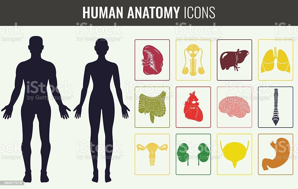Human Organ Anatomy Set Vector Stock Vektor Art Und Mehr Bilder Von