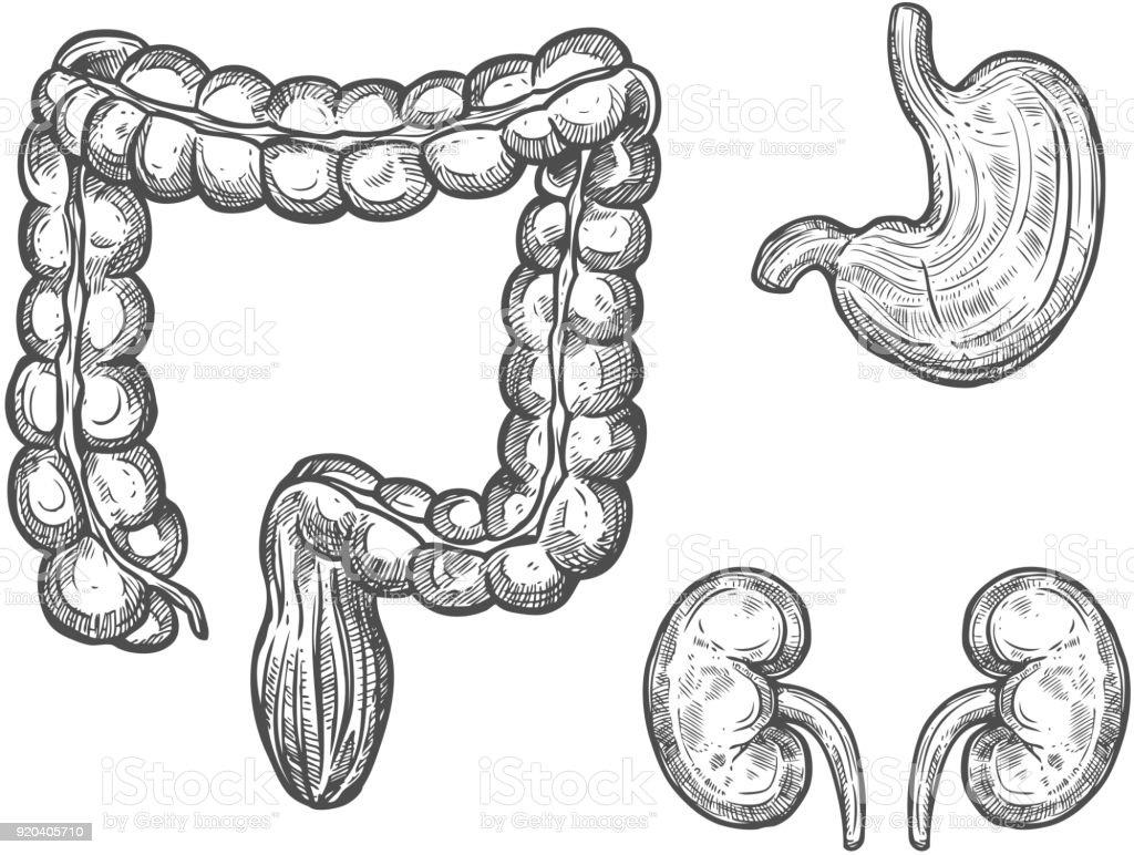 Human Organ Anatomy Sketch For Medicine Design Stock Vector Art