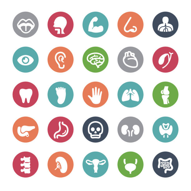 Human Organ Icons - Bijou Series vector art illustration