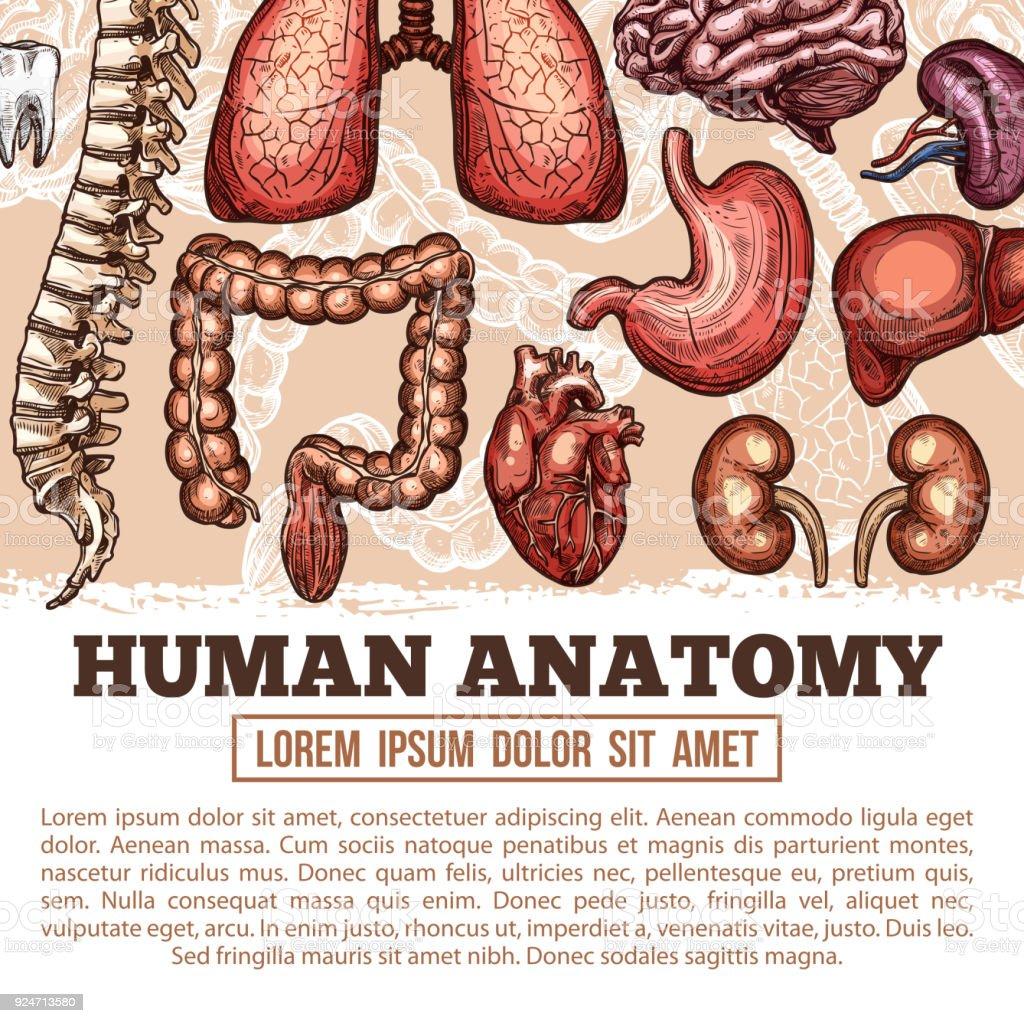 Menschliche Organe Anatomie Vektor Skizze Plakat Stock Vektor Art ...
