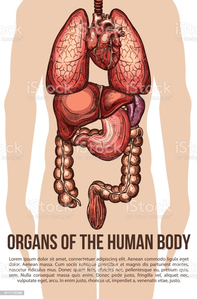 Menschliche Organe Körper System Vector Skizze Plakat Stock Vektor ...