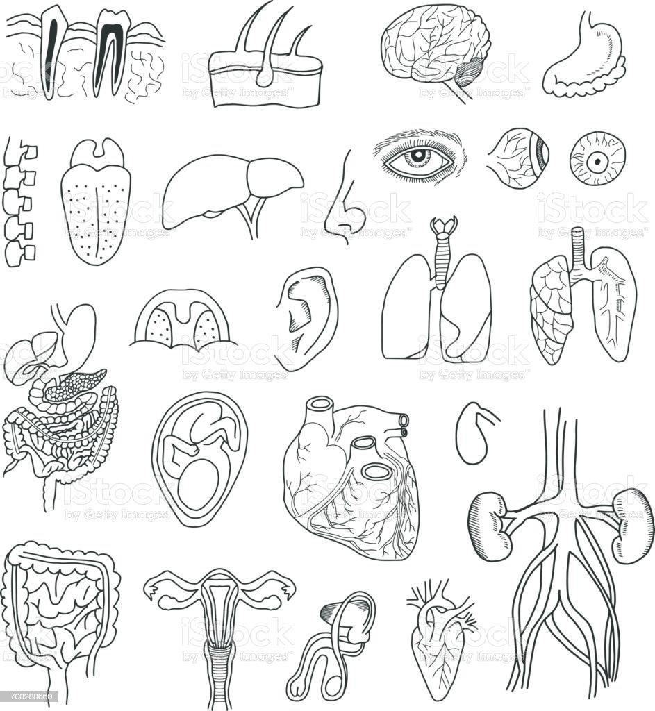 Human Organs Doodle Set vector art illustration