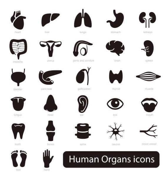 ilustraciones, imágenes clip art, dibujos animados e iconos de stock de conjunto de iconos de órganos humanos, ilustración vectorial - órgano interno humano