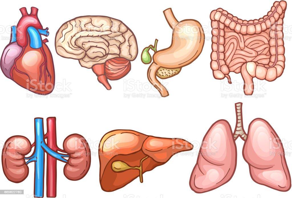 Human Organs In Cartoon Style Biology Illustrations Stock Vector Art