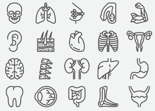 ikony linii narządów ludzkich - ludzkie części ciała stock illustrations