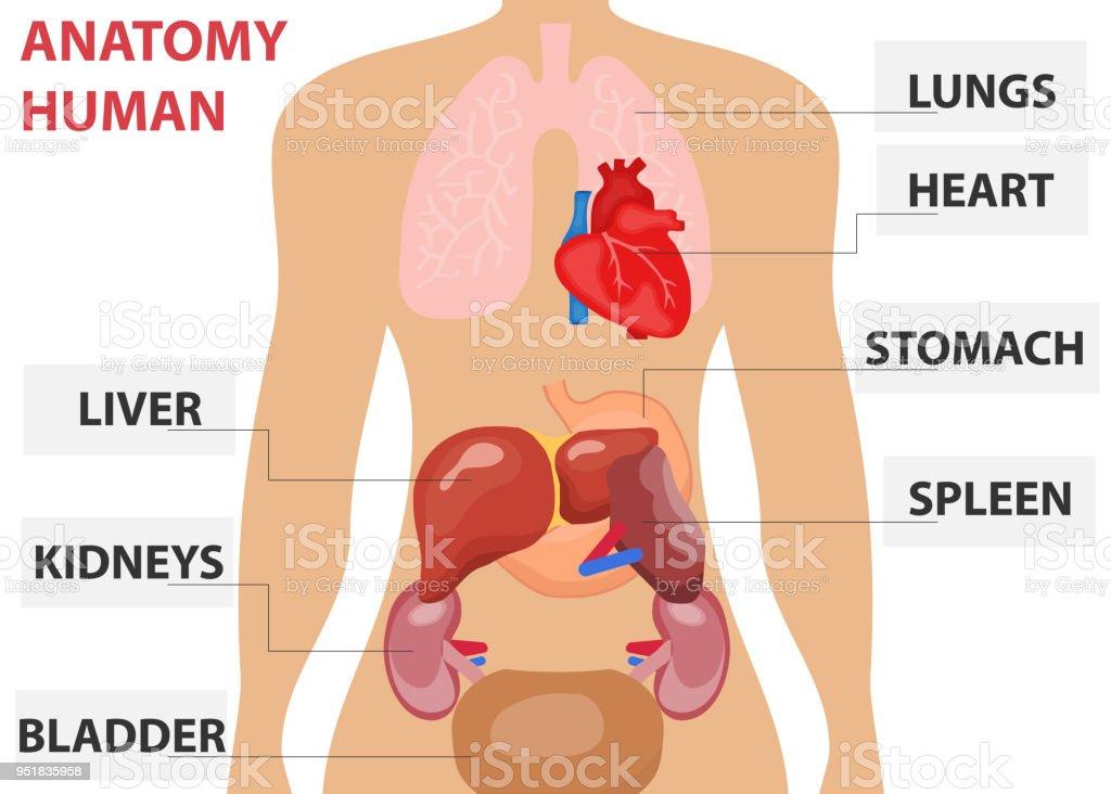 Menschliche Organe Die Platzierung Der Menschlichen Organe Im Körper ...