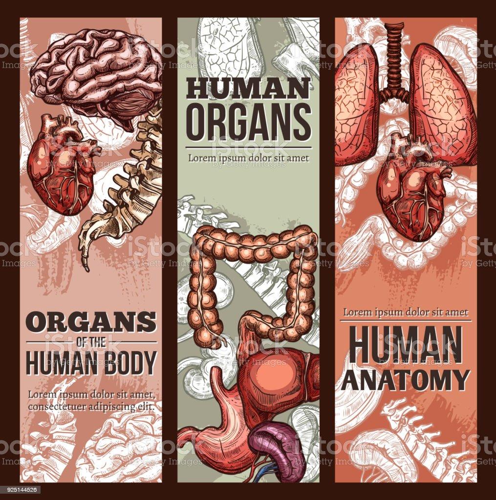 Cartel De Anatomía De Los órganos Humanos Vector Dibujo - Arte ...
