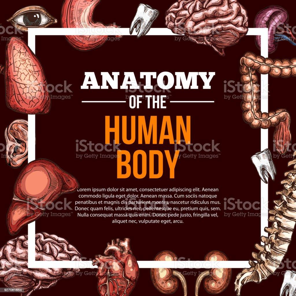 Menschliche Organe Vektor Skizze Anatomie Poster Stock Vektor Art ...