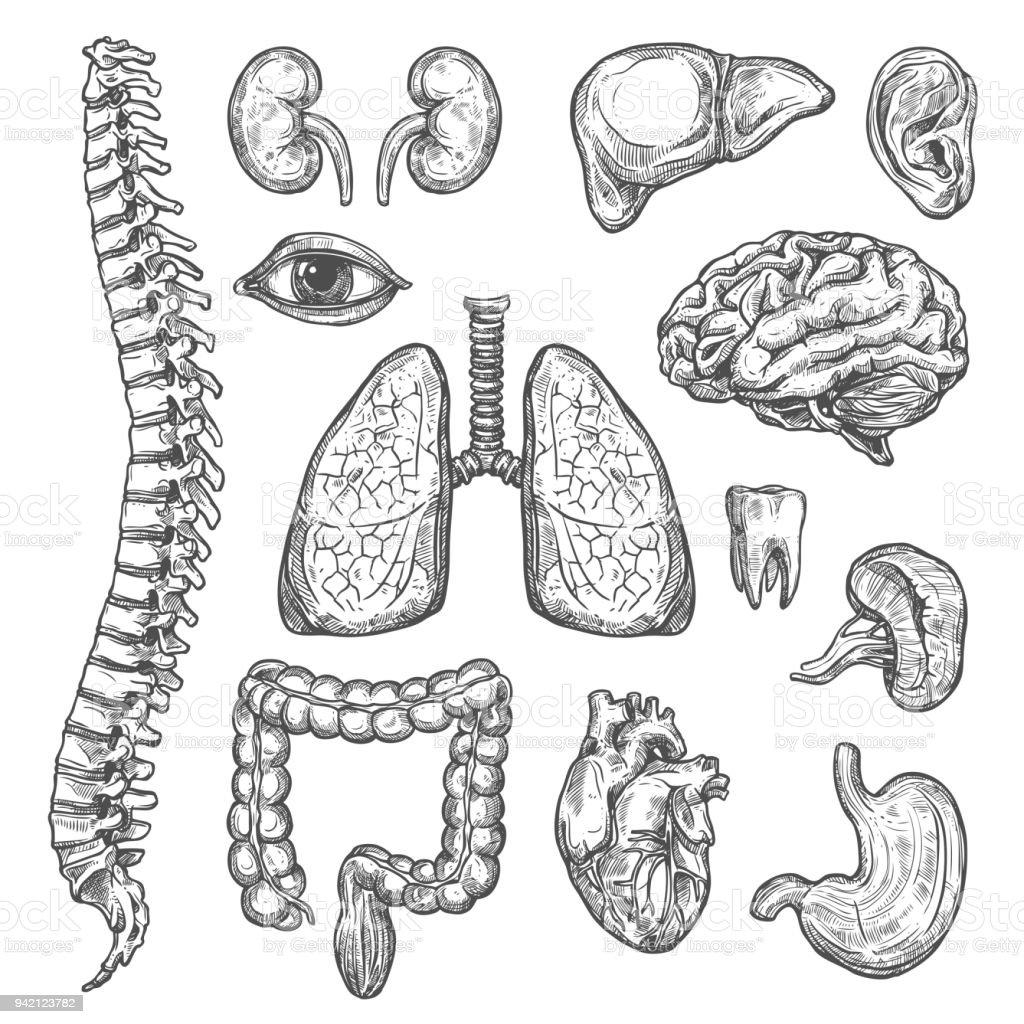 Menschliche Organe Vektor Skizzieren Körper Anatomie Symbole Stock ...
