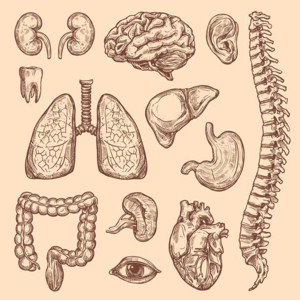 ilustraciones, imágenes clip art, dibujos animados e iconos de stock de vector de órganos humanos sketch iconos de anatomía del cuerpo - órgano interno humano