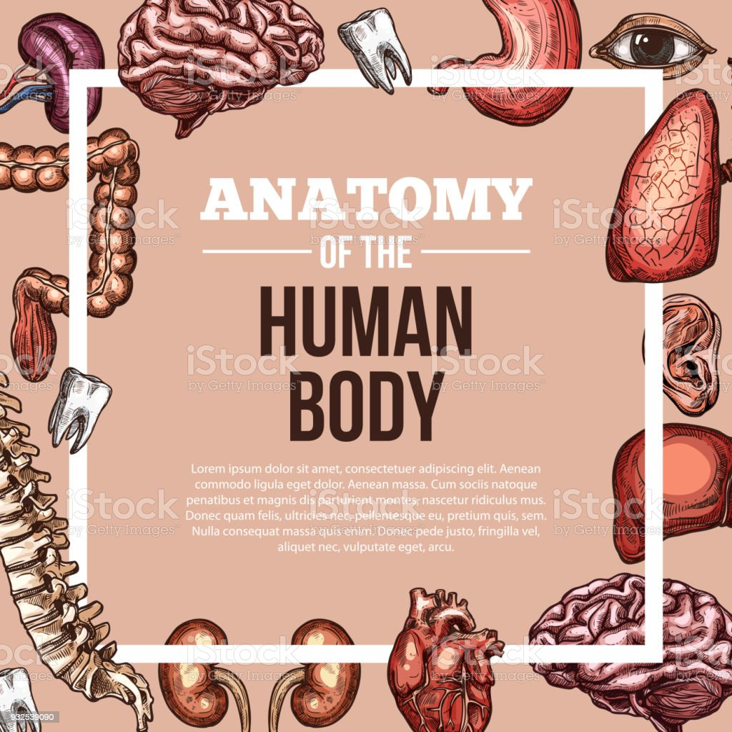 Human Organs Vector Sketch Body Anatomy Poster Stock Vector Art ...