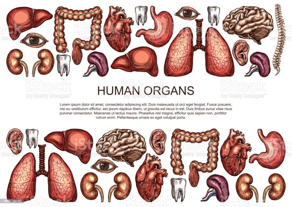 Menschliche Organe Vektor Skizzieren Körper Anatomie Poster Stock ...