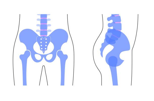 骨盤 イラスト素材 - iStock
