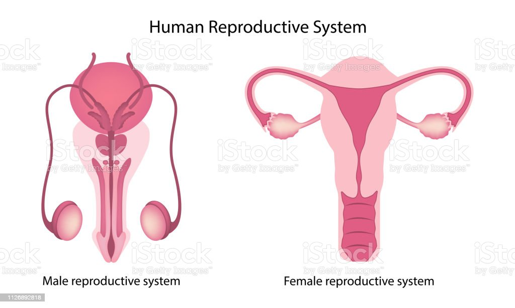 Human Reproductive System Anatomy Stock Vector Art More Images Of