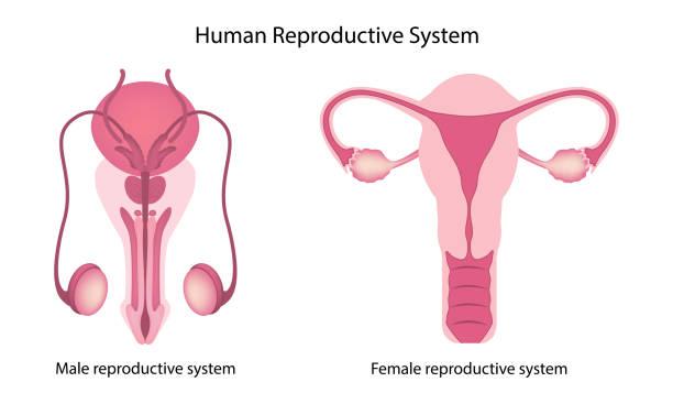 ilustraciones, imágenes clip art, dibujos animados e iconos de stock de anatomía del sistema reproductor humano - ovario