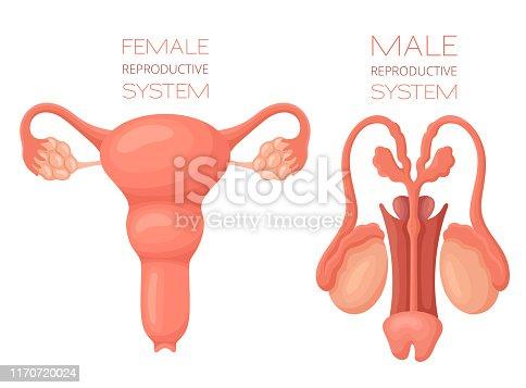 Human reproductive system anatomy