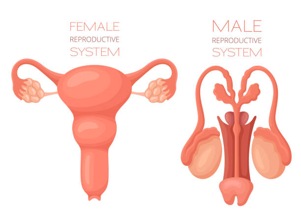 Human reproductive system anatomy Human reproductive system anatomy female likeness stock illustrations