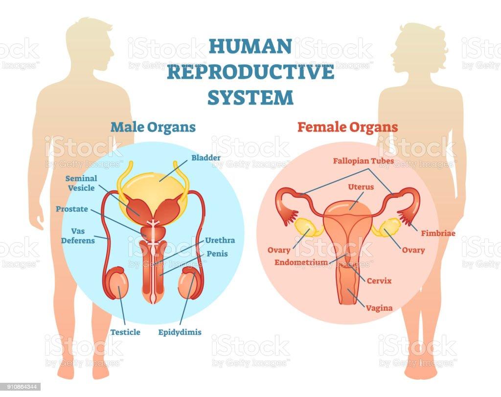 Free Male Female Anatomy Diagrams - DIY Enthusiasts Wiring Diagrams •