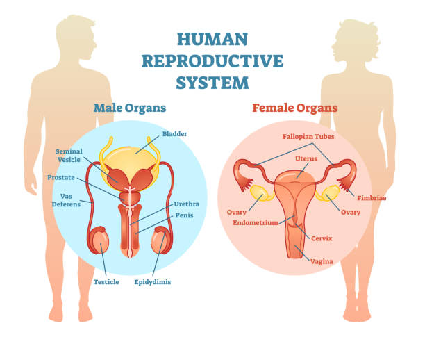 Royalty Free Female Reproductive Organ Clip Art Vector Images