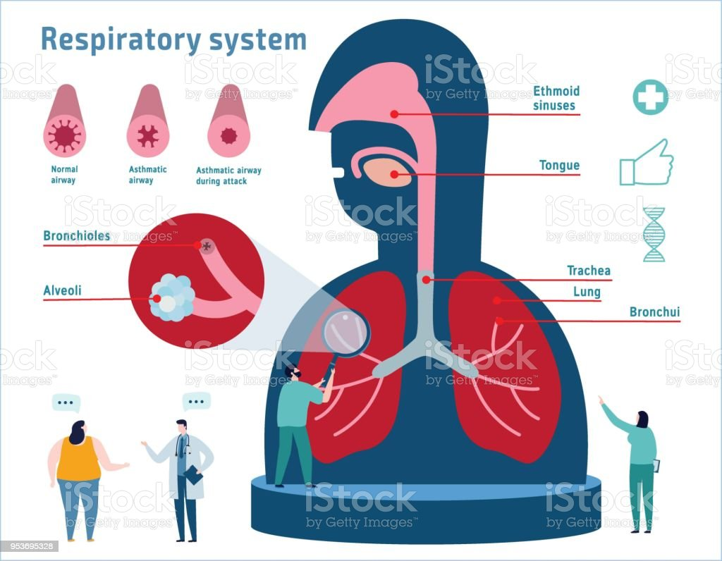 Human Respiratory System anatomical vector illustration infographic. medical education banner. healthcare concept. diagram nasal cavity and lungs flat cartoon icons design for web banner background