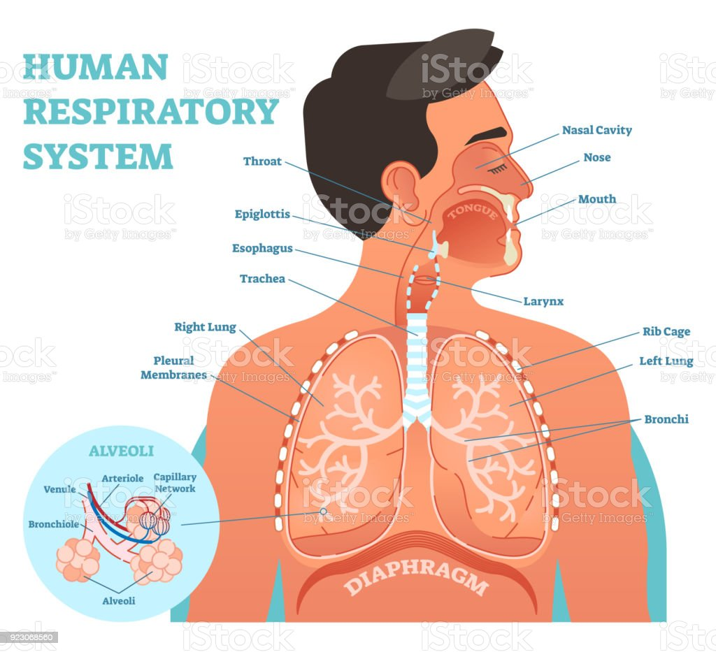 Human Respiratory System anatomical vector illustration, medical education cross section diagram with nasal cavity, throat, lungs and alveoli. vector art illustration