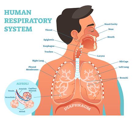 human respiratory system anatomical vector illustration. Black Bedroom Furniture Sets. Home Design Ideas