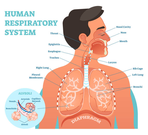 Human Respiratory System anatomical vector illustration, medical education cross section diagram with nasal cavity, throat, lungs and alveoli. Human Respiratory System anatomical vector illustration, medical education cross section diagram with nasal cavity, throat, esophagus, trachea, lungs and alveoli. alveolar duct stock illustrations