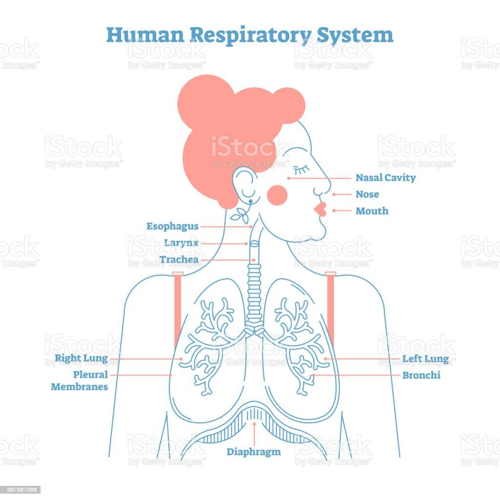 Menschlichen Atemwege Anatomische Vektorillustration Medizinische ...