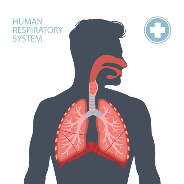 Human respiratory system Human respiratory system. Vector illustration alveolar duct stock illustrations