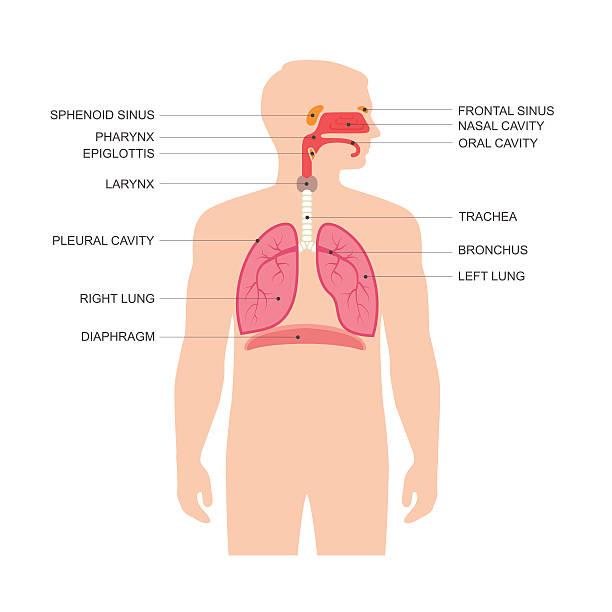 human respiratory system human respiratory system anatomy, vector medical nose illustration  respiratory system stock illustrations
