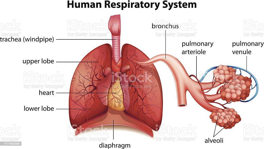 Menschliche Atmungsorgan Stock Vektor Art und mehr Bilder von ...