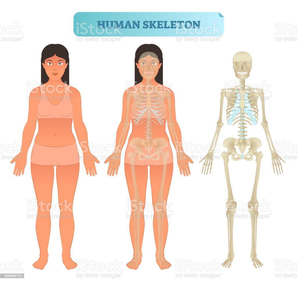 Ilustración de Sistema Esquelético Humano Modelo Anatómico Cartel De ...