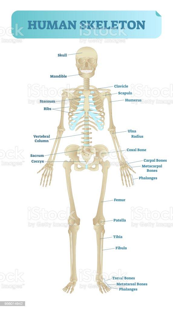 Human Skeletal System Anatomical Model Medical Vector Illustration
