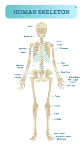 Best Anatomy Model Illustrations, Royalty-Free Vector