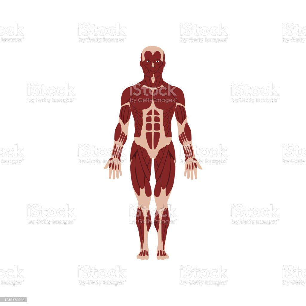 Human Skeletal System Anatomy Of Human Body Vector Illustration On A ...