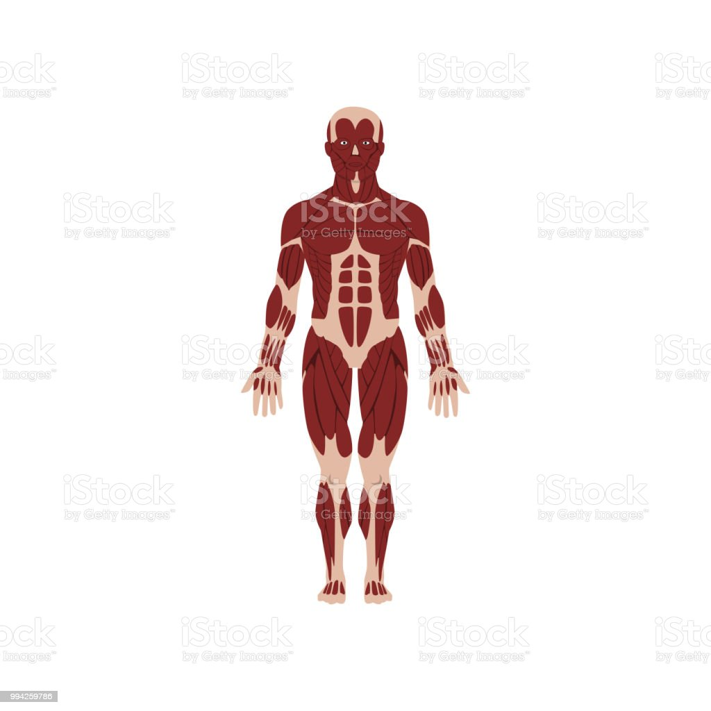Human Skeletal System Anatomy Of Human Body Vector Illustration On A