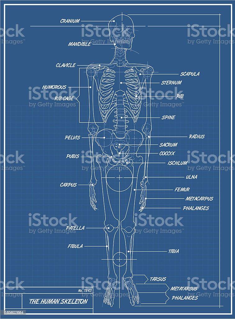 Großzügig Skelett Diagramme Galerie - Anatomie Von Menschlichen ...
