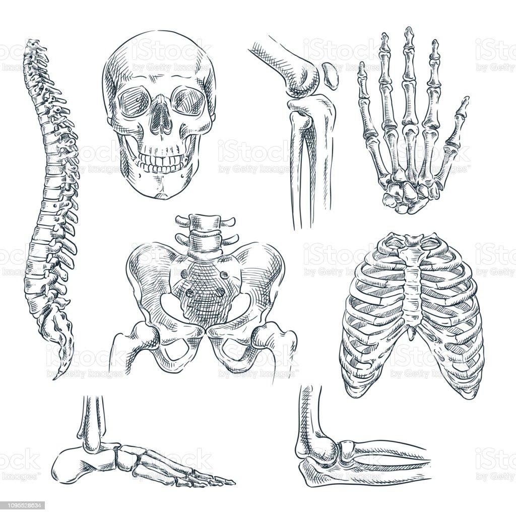 Vetores De Esqueleto Humano Ossos E Articulacoes Vetor Desenho