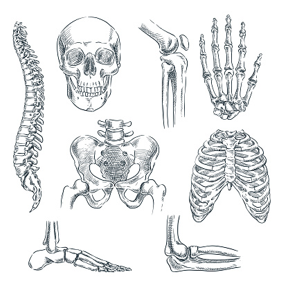 Human skeleton, bones and joints. Vector sketch isolated illustration. Hand drawn doodle anatomy symbols set