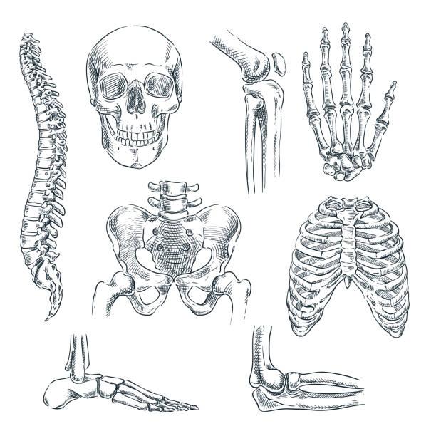 ilustrações, clipart, desenhos animados e ícones de esqueleto humano, ossos e articulações. vetor desenho ilustração isolada. anatomia do doodle mão desenhada símbolos conjunto - ortopedia