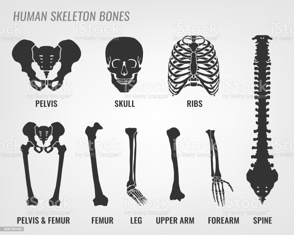 Human skeleton bones