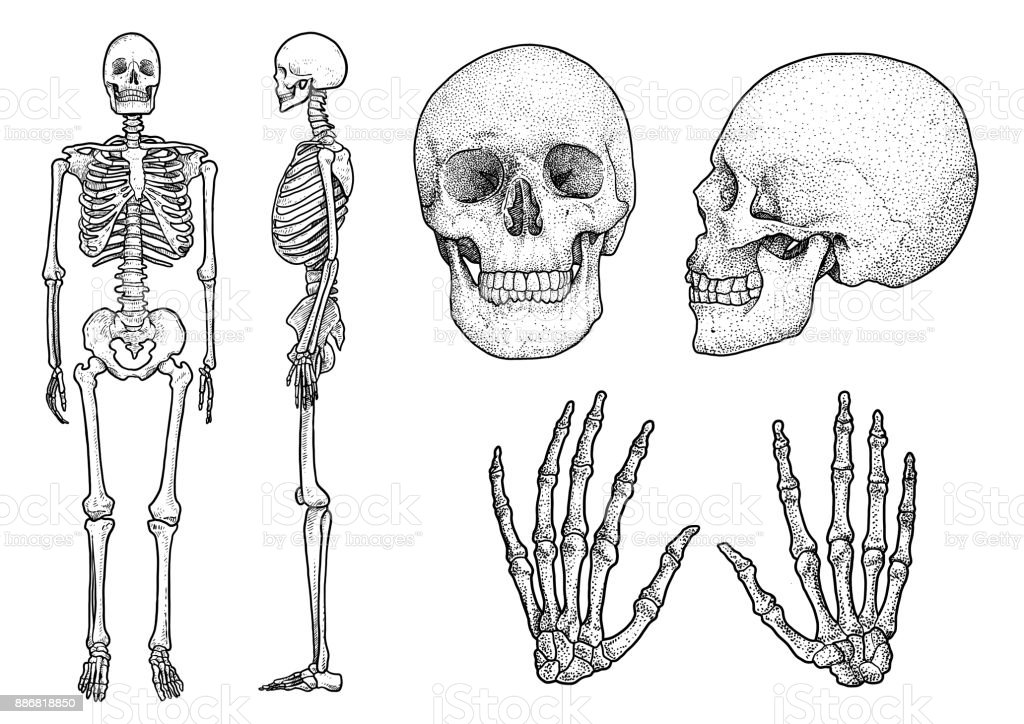 Human Skeleton Collection Illustration Drawing Engraving Ink Line