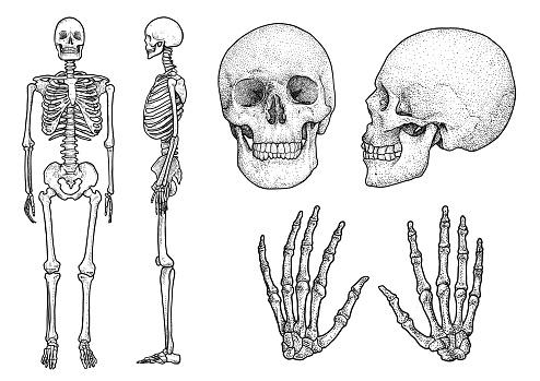 Human skeleton collection illustration, drawing, engraving, ink, line   art, vector